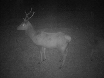 Lov jelena v noci